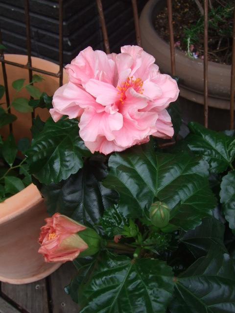オークリーフ(バラと野苺のある風景)_f0049672_1641132.jpg
