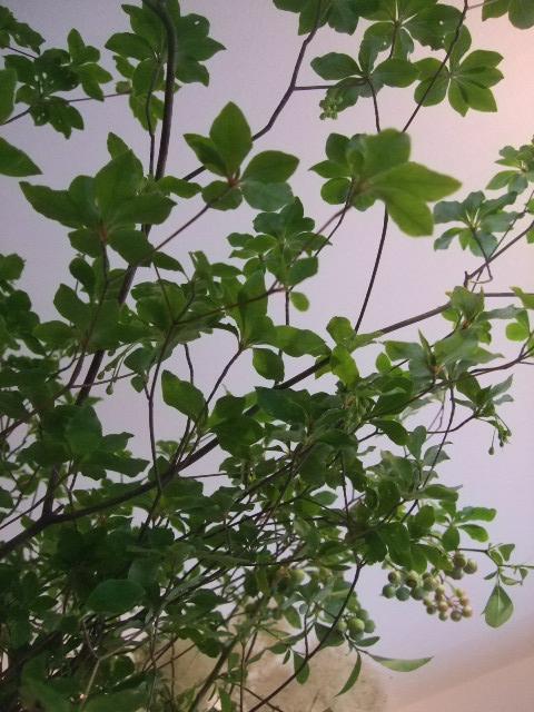 オークリーフ(バラと野苺のある風景)_f0049672_16581242.jpg