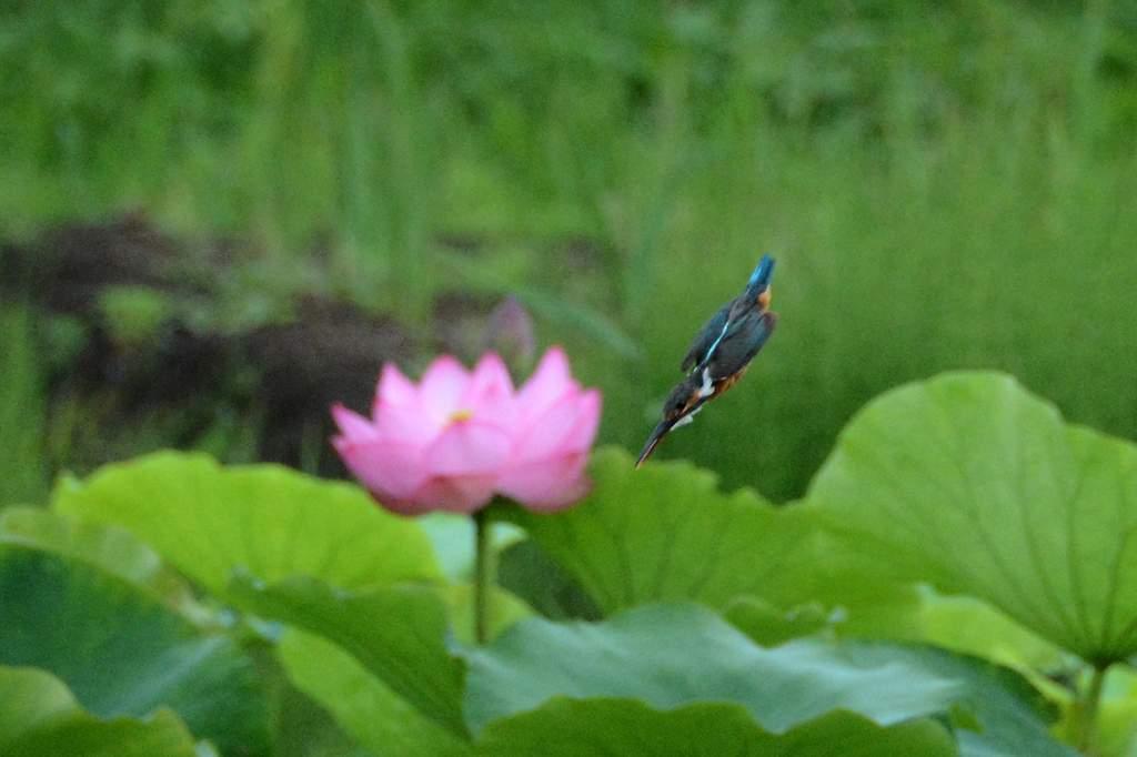 ママセミ・チビセミ/高原のホオアカ/コシアキトンボ_b0024798_515610.jpg