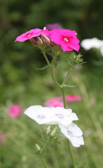 菜園 夏の花_e0048413_17265095.jpg