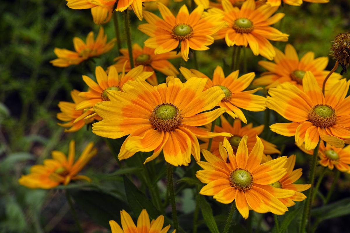 キンギョソウ、ルドベキア、シロタエギク、、、初夏のお花たちをシグマ望遠、マクロレンズ達で楽しむ_c0223825_10314065.jpg