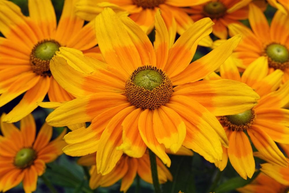 キンギョソウ、ルドベキア、シロタエギク、、、初夏のお花たちをシグマ望遠、マクロレンズ達で楽しむ_c0223825_10341370.jpg