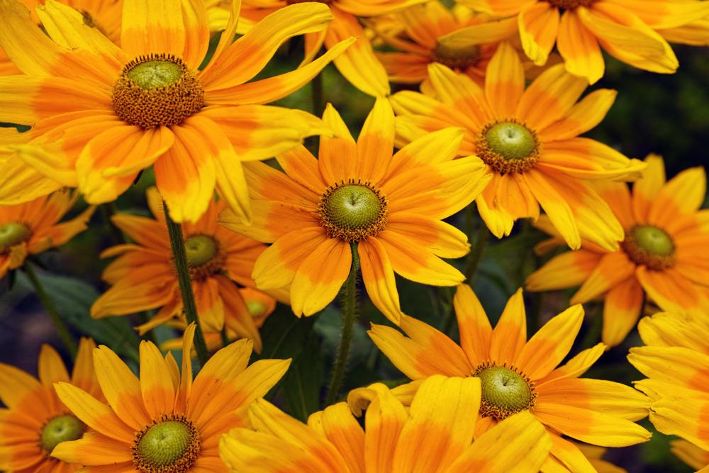 キンギョソウ、ルドベキア、シロタエギク、、、初夏のお花たちをシグマ望遠、マクロレンズ達で楽しむ_c0223825_10375683.jpg