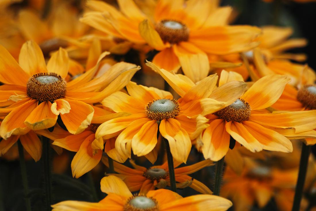 キンギョソウ、ルドベキア、シロタエギク、、、初夏のお花たちをシグマ望遠、マクロレンズ達で楽しむ_c0223825_11162130.jpg