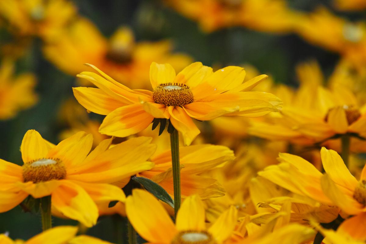 キンギョソウ、ルドベキア、シロタエギク、、、初夏のお花たちをシグマ望遠、マクロレンズ達で楽しむ_c0223825_11173329.jpg