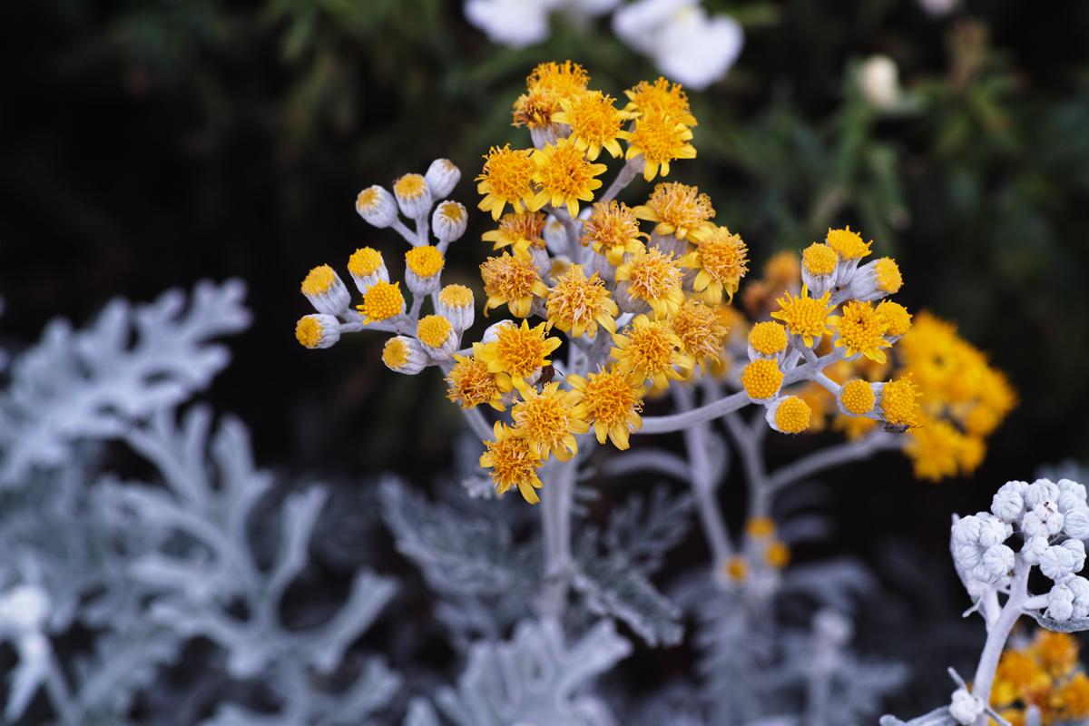 キンギョソウ、ルドベキア、シロタエギク、、、初夏のお花たちをシグマ望遠、マクロレンズ達で楽しむ_c0223825_11315833.jpg