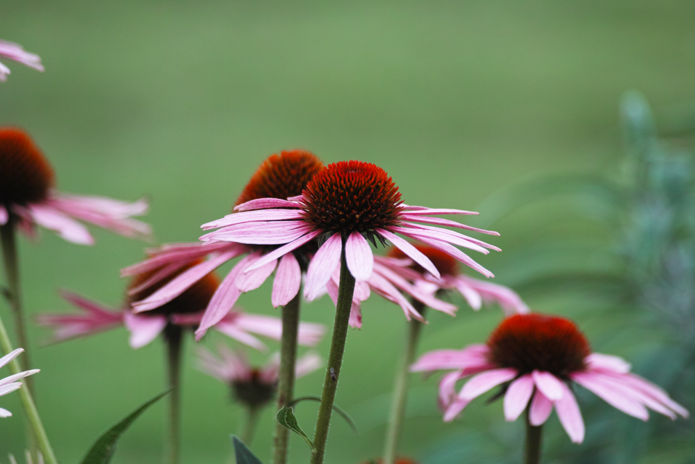キンギョソウ、ルドベキア、シロタエギク、、、初夏のお花たちをシグマ望遠、マクロレンズ達で楽しむ_c0223825_11441788.jpg