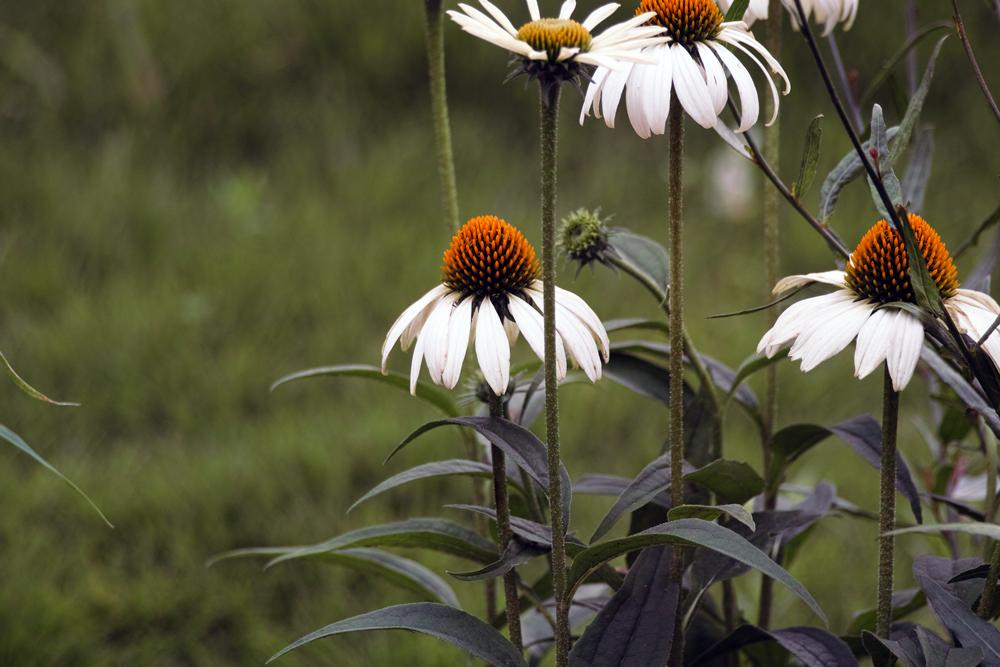 キンギョソウ、ルドベキア、シロタエギク、、、初夏のお花たちをシグマ望遠、マクロレンズ達で楽しむ_c0223825_11445992.jpg