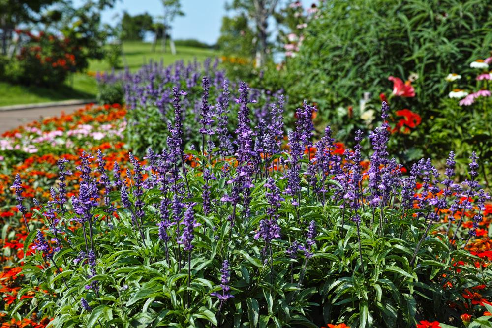 キンギョソウ、ルドベキア、シロタエギク、、、初夏のお花たちをシグマ望遠、マクロレンズ達で楽しむ_c0223825_11591085.jpg