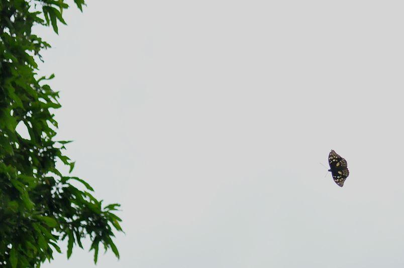 7月6日(晴れのちくもり)タイトル:カラスを追いかけるオオムラサキ_f0105542_19531311.jpg