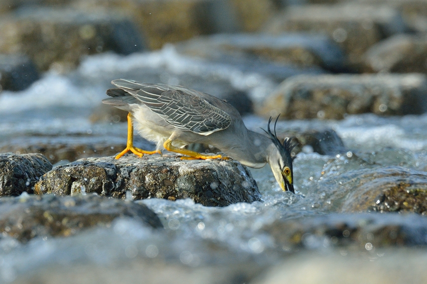 ササゴイ(Striated heron)~2013.07_b0148352_2224159.jpg