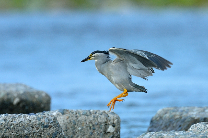 ササゴイ(Striated heron)~2013.07_b0148352_22285042.jpg