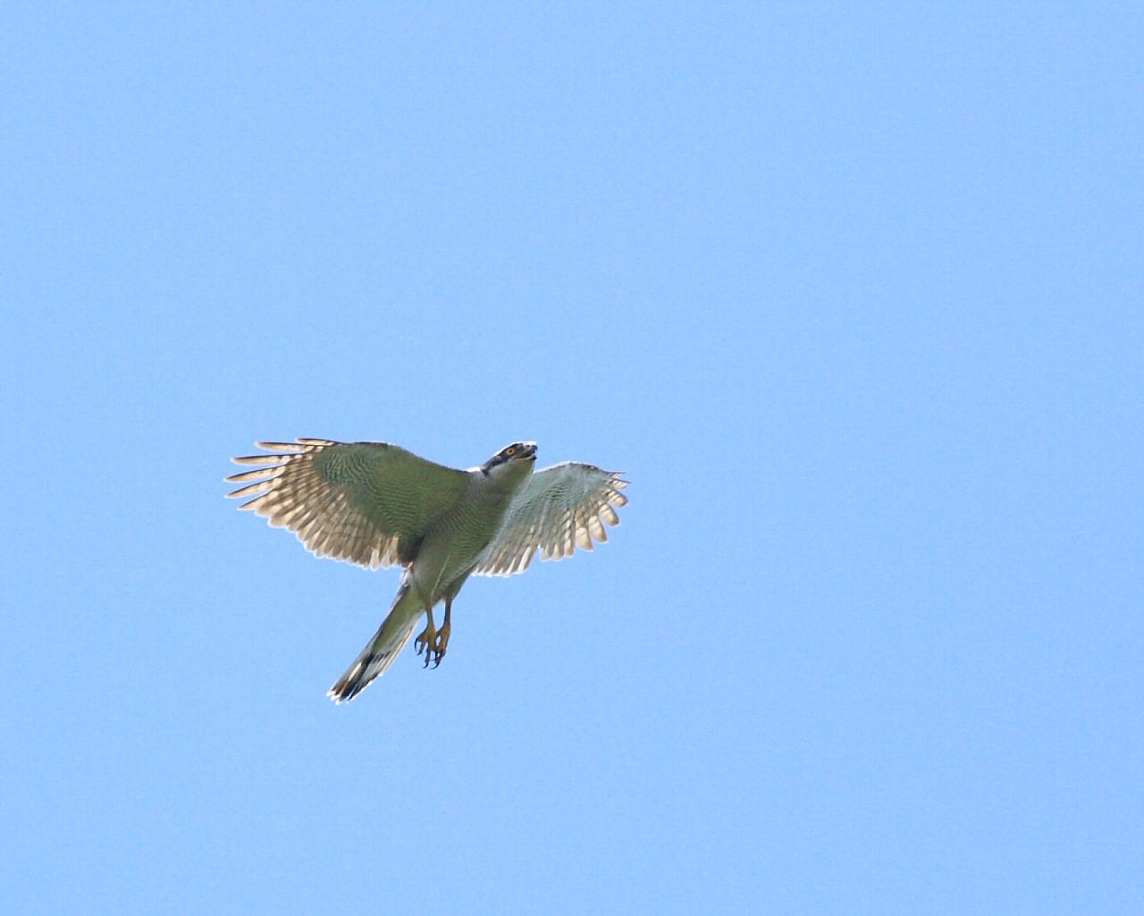 梅雨明け(?)の青空背景にオオタカお父さんの雄飛_f0105570_15354365.jpg