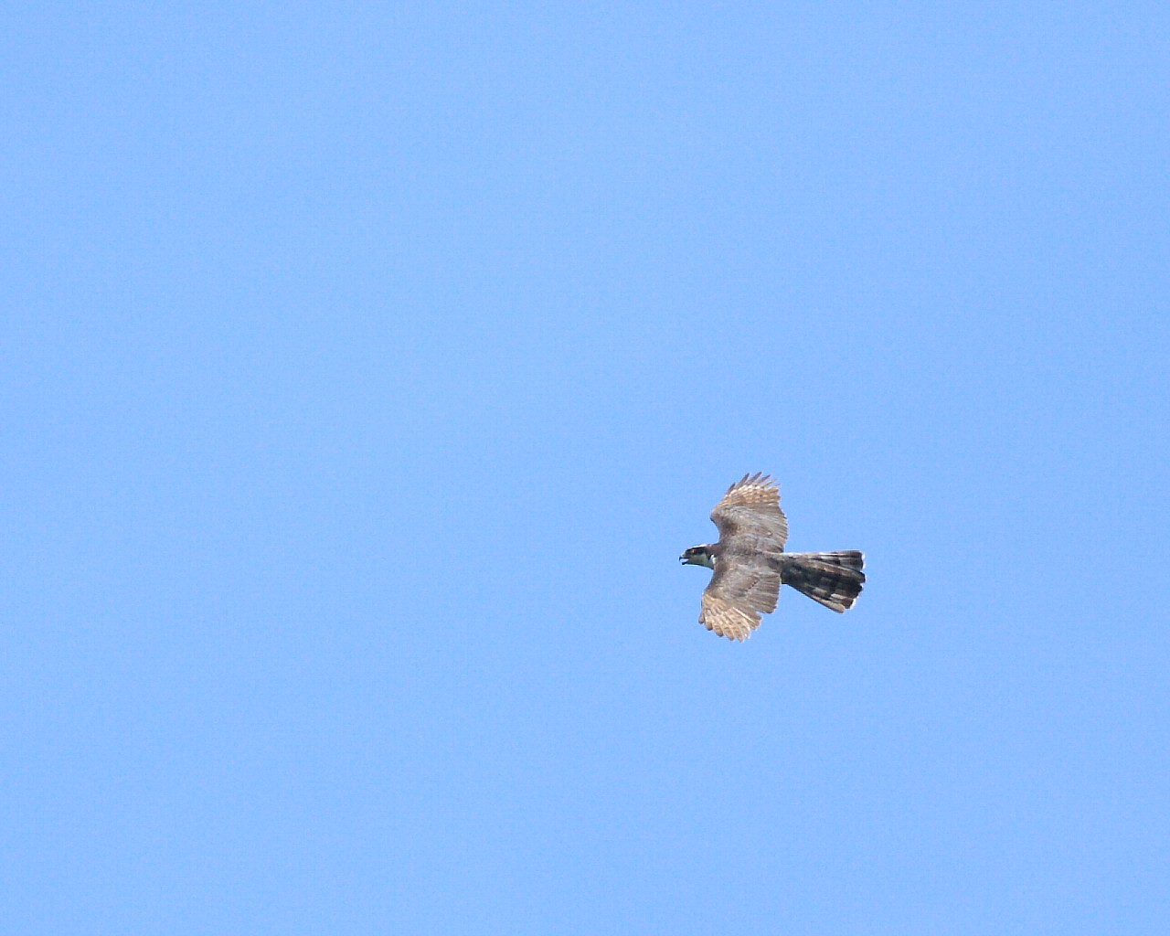 梅雨明け(?)の青空背景にオオタカお父さんの雄飛_f0105570_15363273.jpg