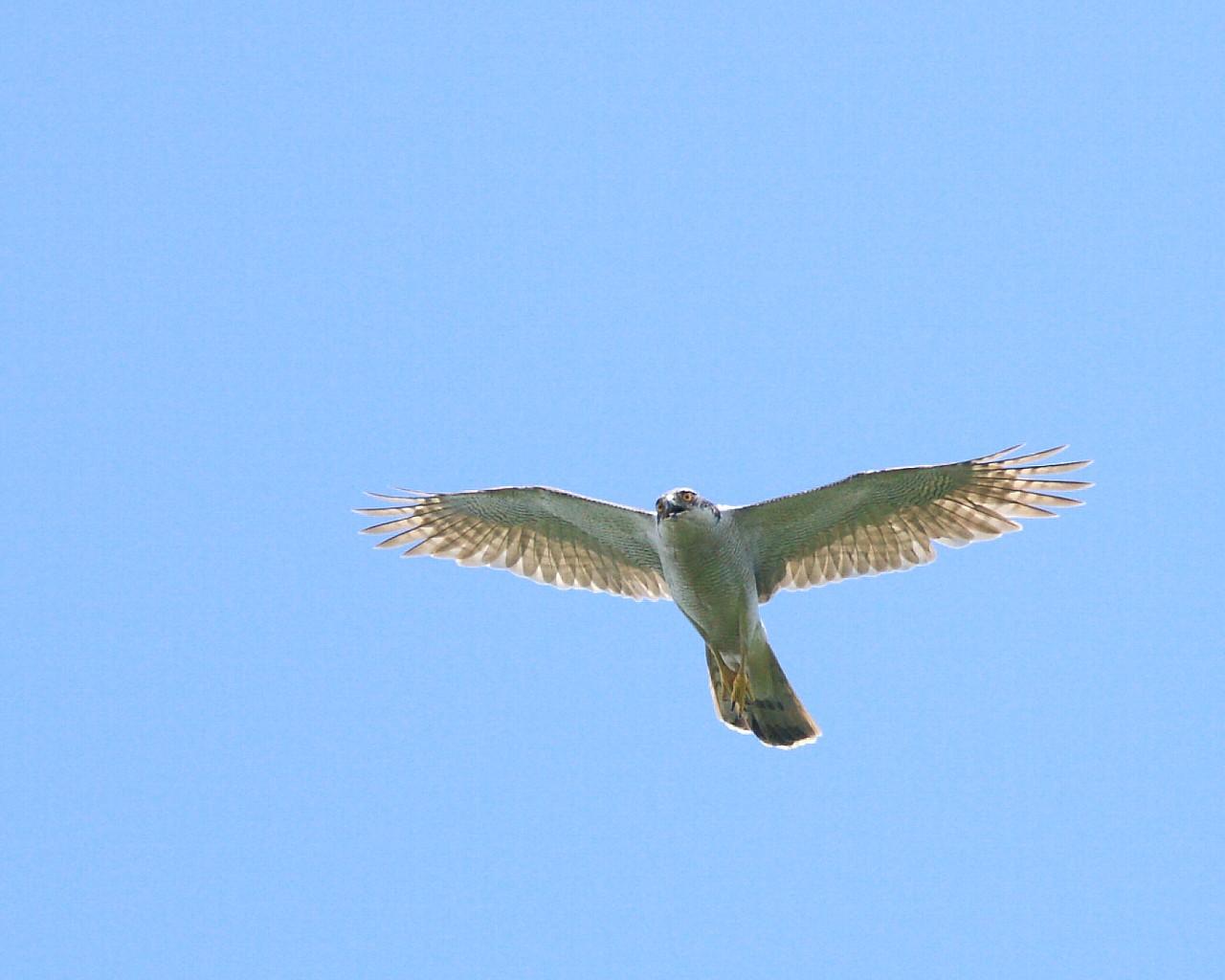 梅雨明け(?)の青空背景にオオタカお父さんの雄飛_f0105570_1536757.jpg