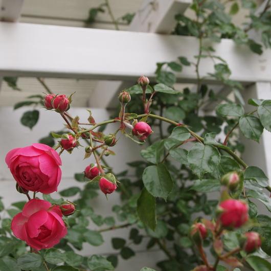 ポンポネッラ咲きました。_a0292194_16481616.jpg