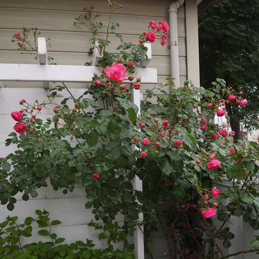 ポンポネッラ咲きました。_a0292194_16484942.jpg