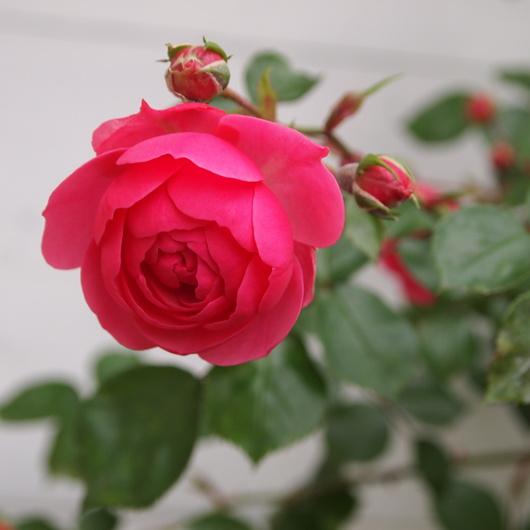 ポンポネッラ咲きました。_a0292194_16492674.jpg