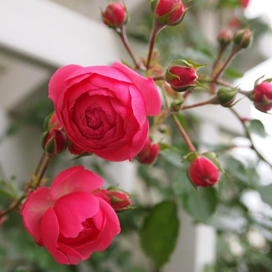 ポンポネッラ咲きました。_a0292194_1649725.jpg