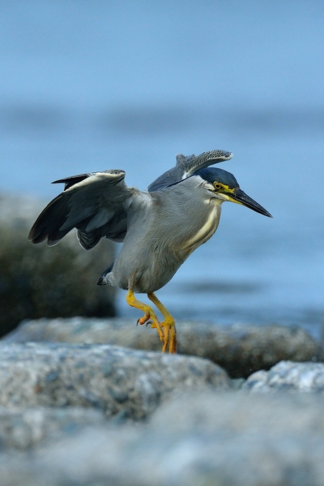 ササゴイ(Striated heron)~2013.07_b0148352_22573559.jpg