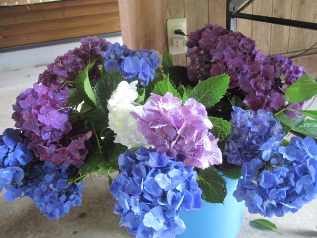 紫陽花が見ごろです_f0085369_2372216.jpg