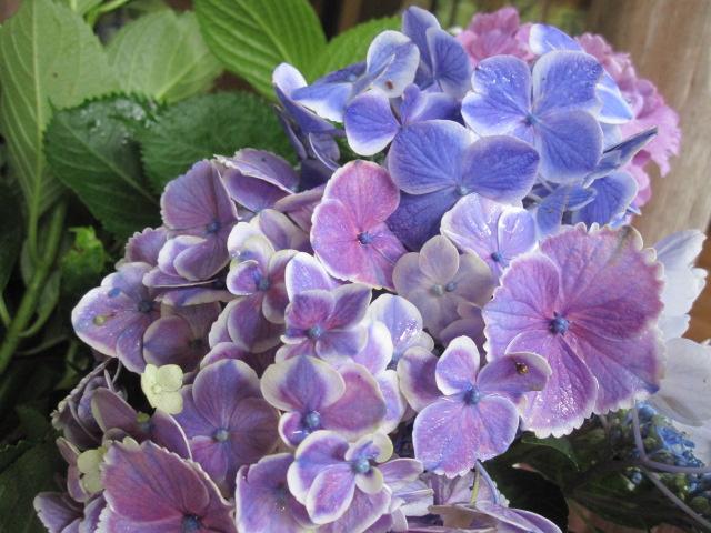 紫陽花が見ごろです_f0085369_2382421.jpg