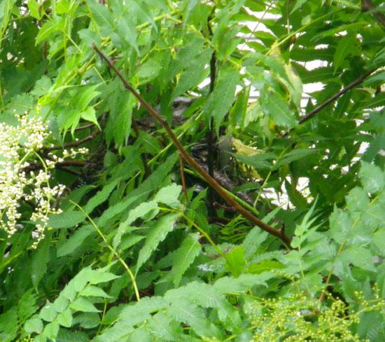 珍至梅とヒヨドリの巣_a0136293_17493420.jpg