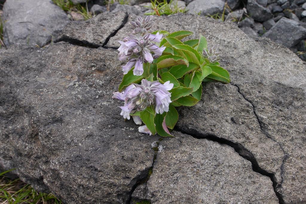7月6日、樽前山-その2-_f0138096_11301542.jpg
