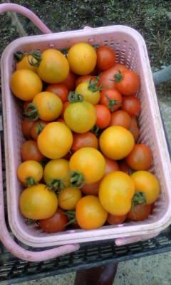 今収穫した中玉トマトだよ。_d0026905_5562827.jpg