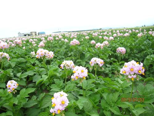 ジャガイモの花_f0231042_1348746.jpg