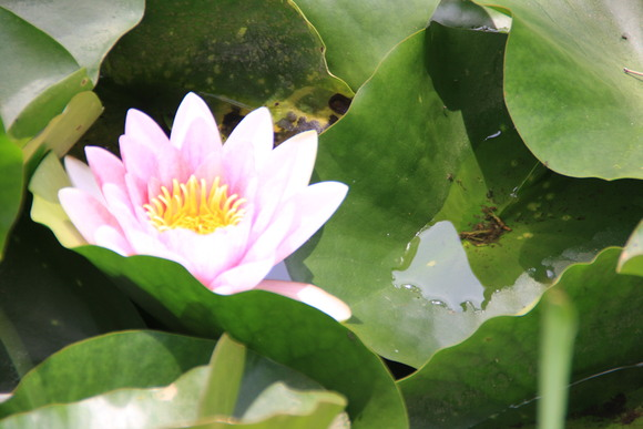 SKY130709 水面に花を飾る、睡蓮がホット一息を感じさせる_d0288367_84337.jpg