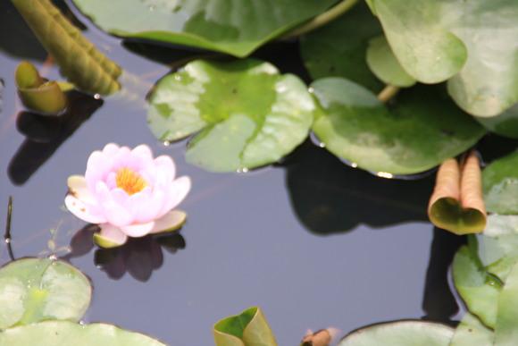 SKY130709 水面に花を飾る、睡蓮がホット一息を感じさせる_d0288367_843613.jpg