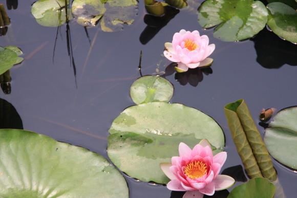 SKY130709 水面に花を飾る、睡蓮がホット一息を感じさせる_d0288367_844556.jpg