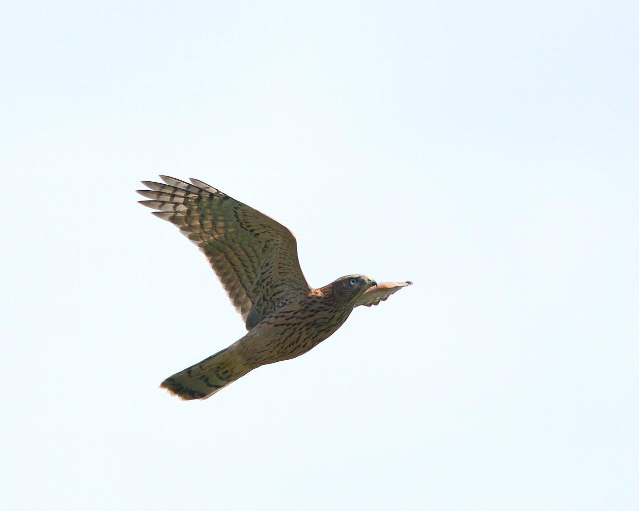 飛行練習するオオタカ若鳥_f0105570_2134412.jpg
