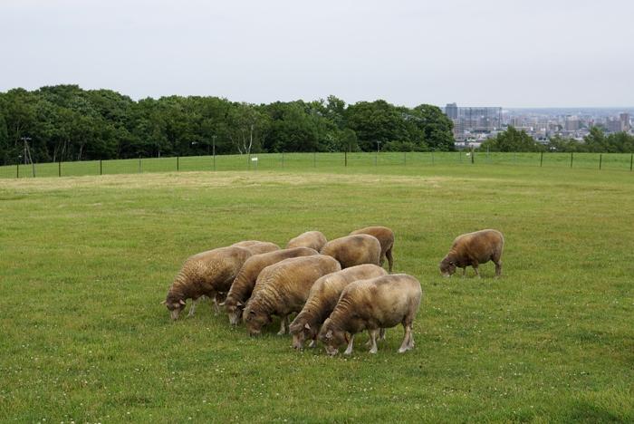 羊ケ丘のヒツジ_c0182775_20583824.jpg