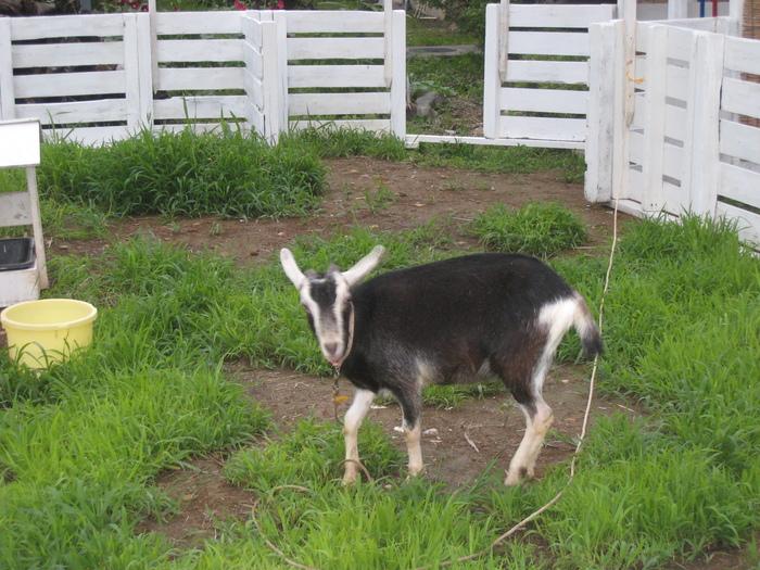 山羊のクロンが来た_c0267580_1014740.jpg