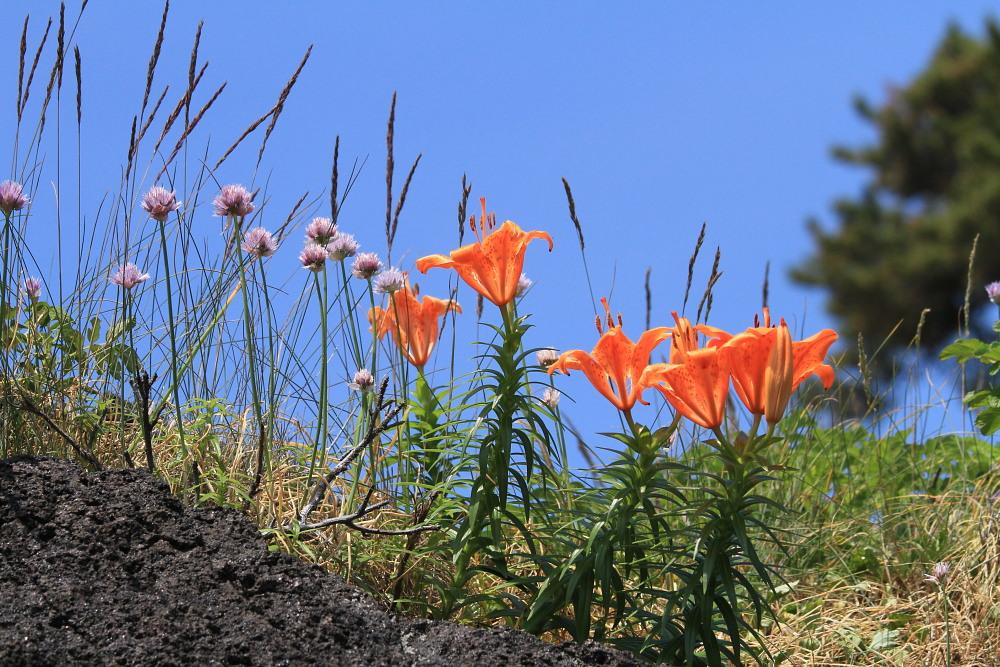 カバイロシジミ  下北半島も見るのは難しい。 2013.6.30青森県⑦_a0146869_3391778.jpg