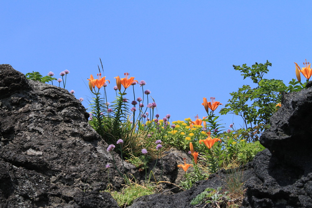 カバイロシジミ  下北半島も見るのは難しい。 2013.6.30青森県⑦_a0146869_339551.jpg