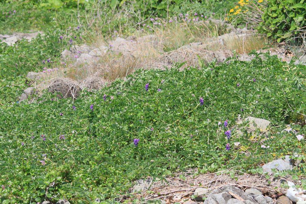 カバイロシジミ  下北半島も見るのは難しい。 2013.6.30青森県⑦_a0146869_3422223.jpg