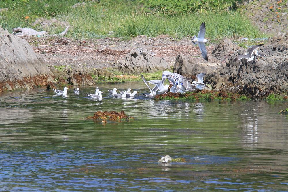 カバイロシジミ  下北半島も見るのは難しい。 2013.6.30青森県⑦_a0146869_425381.jpg