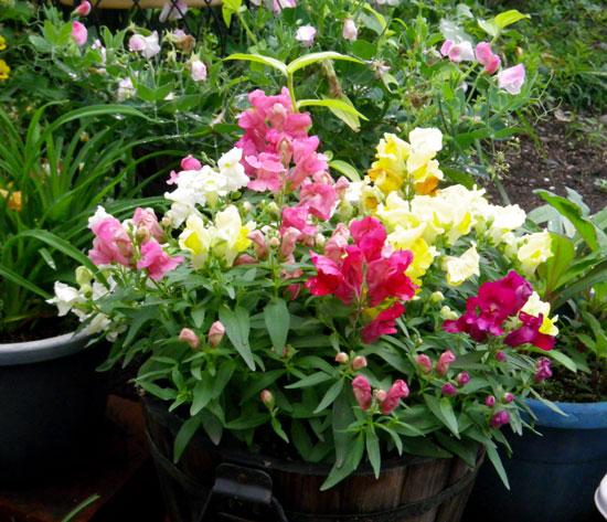 種から育った花を幾つか~♪_a0136293_17115645.jpg