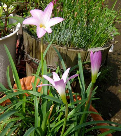 種から育った花を幾つか~♪_a0136293_1715233.jpg