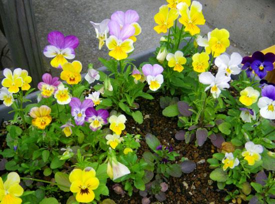 種から育った花を幾つか~♪_a0136293_1715406.jpg