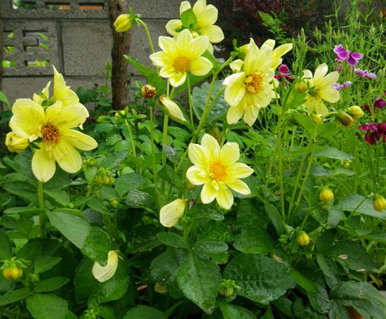 種から育った花を幾つか~♪_a0136293_1773824.jpg