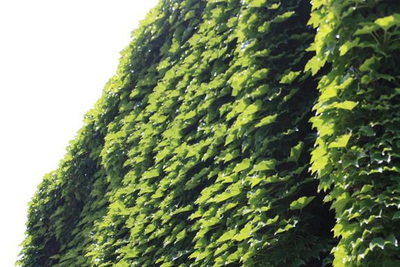 SKY130716 緑化によるカーテンが、室内温度を下げる効果がある_d0288367_85770.jpg