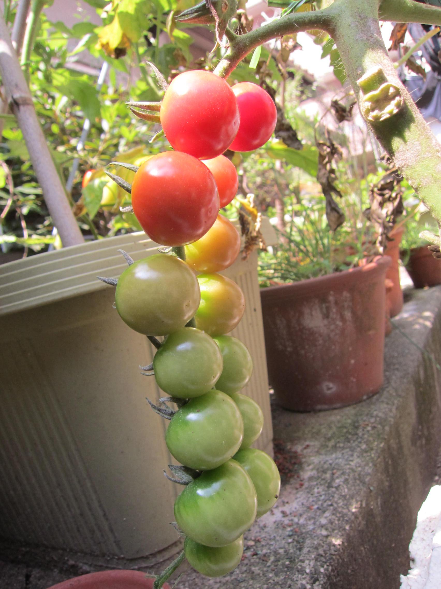 トマト収穫_b0219170_16403171.jpg
