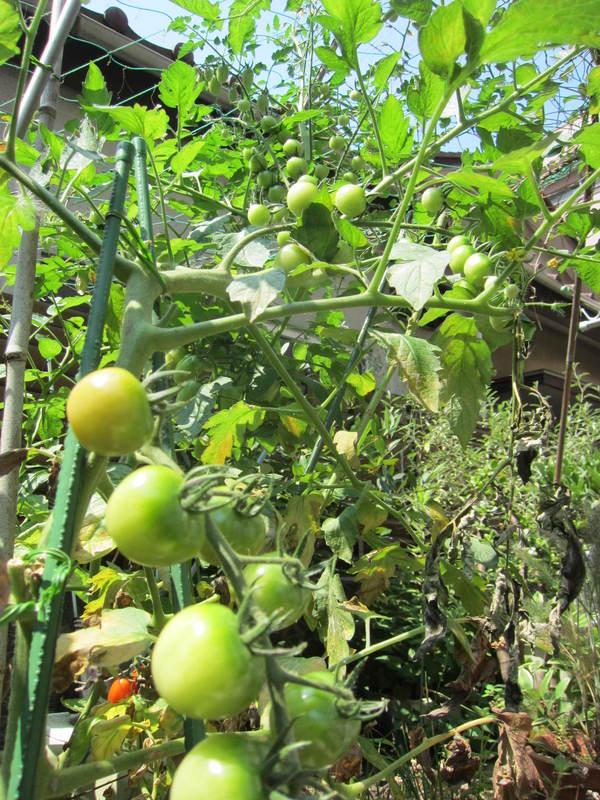 トマト収穫_b0219170_16492327.jpg