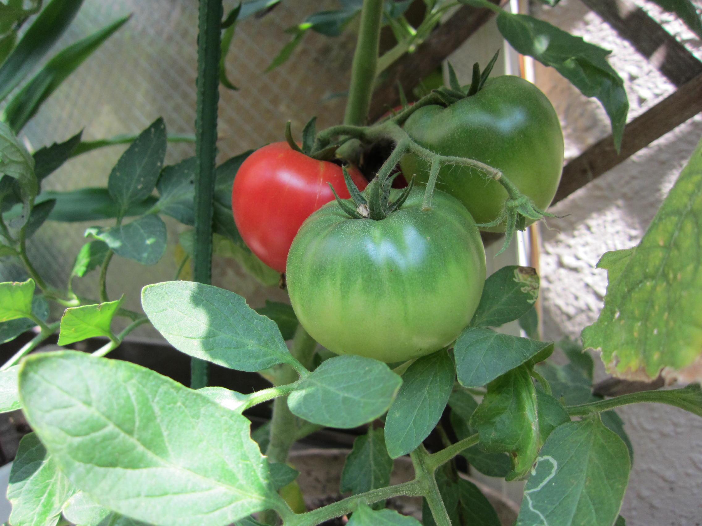トマト収穫_b0219170_16531145.jpg