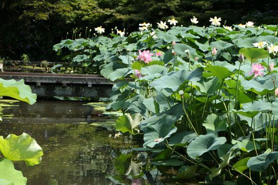 植物園 ハスが盛り_e0048413_1710477.jpg