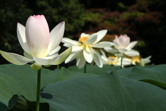 植物園 ハスが盛り_e0048413_17111488.jpg